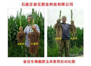 玉米用肥效果图解对比主要看根便知